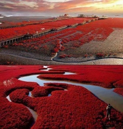 Nature Wallpaper - Red Beach, Panjin, China
