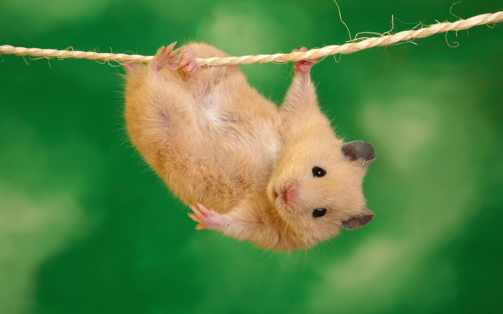 Acrobat mouse