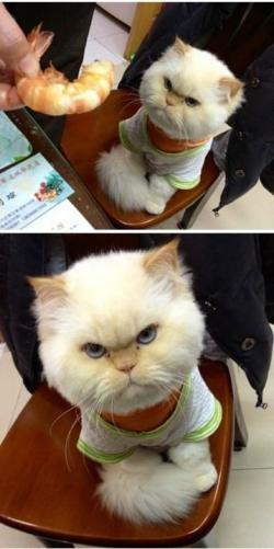 Funny photos - Gangster Cat
