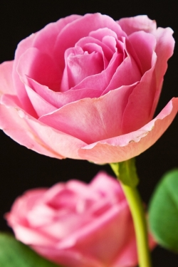 Flower Wallpaper - Beautiful Pink Roses
