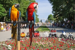 Animal Wallpaper - parrots having a peek