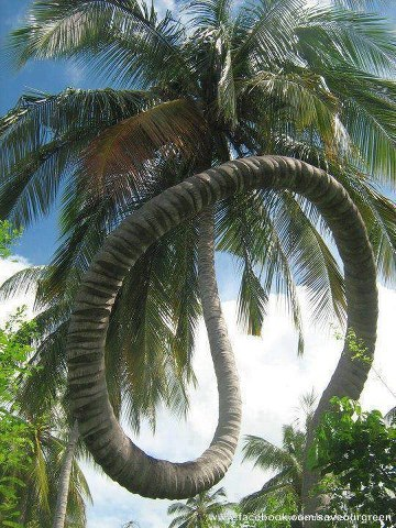 Monstrous coconut tree