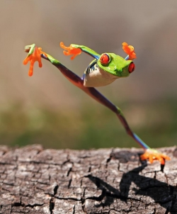 Animal photos - Kungfu Tree frog