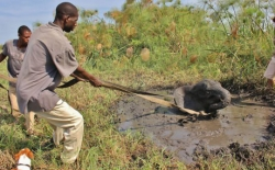 Animal photos - Africans helping a young elephant out of the mud