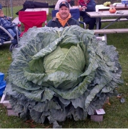Garden pictures - The biggest cabbage