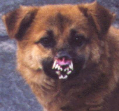 Dog dracula
