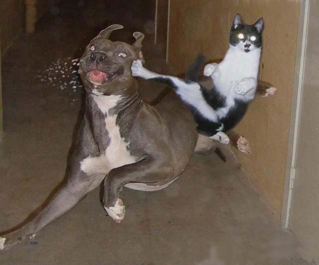 Kungfu pet