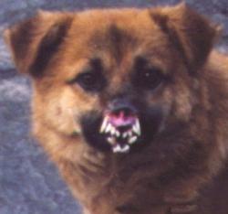 Animal photos - Dog dracula