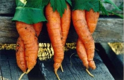 Funny photos - Carrot dancers