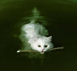 Animal photos - Cat swims