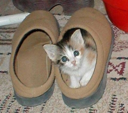 Animal photos - Kitten in my shoe