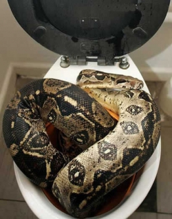 Animal photos - A Boa is using toilet