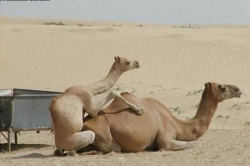 Animal photos - Camels love