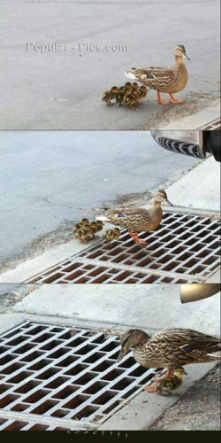 Animal photos - Sad duck