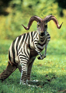 Funny photos - Kangaroo? Ox or Zebra ??