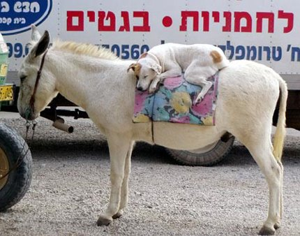 Dog on donkey