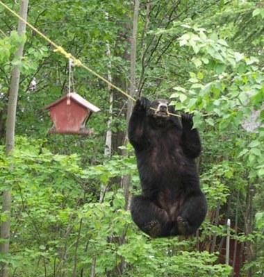 Mischievous bear