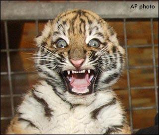 Insane tiger