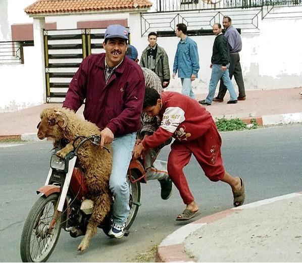 Sheep rides