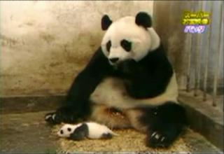 Baby Panda sneezes