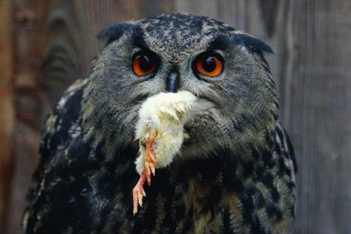 Choking owl