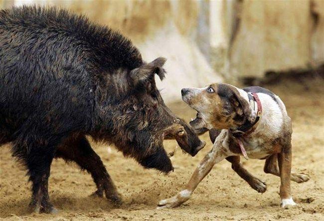 Wild pig and dog