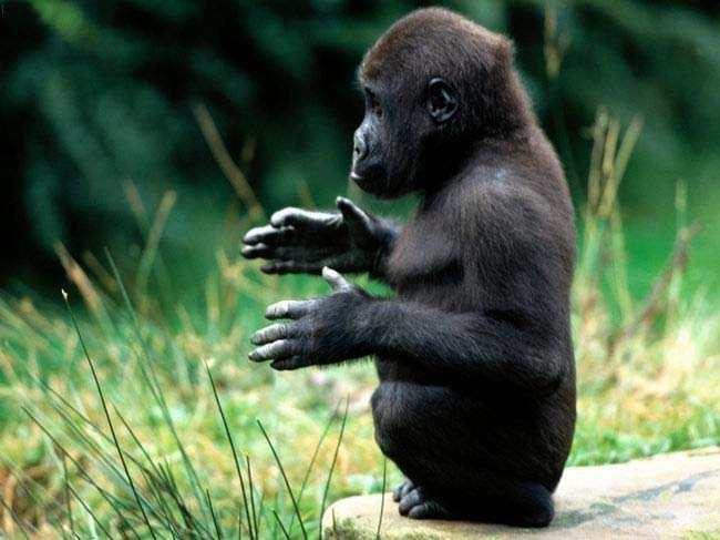 Spruce gorilla