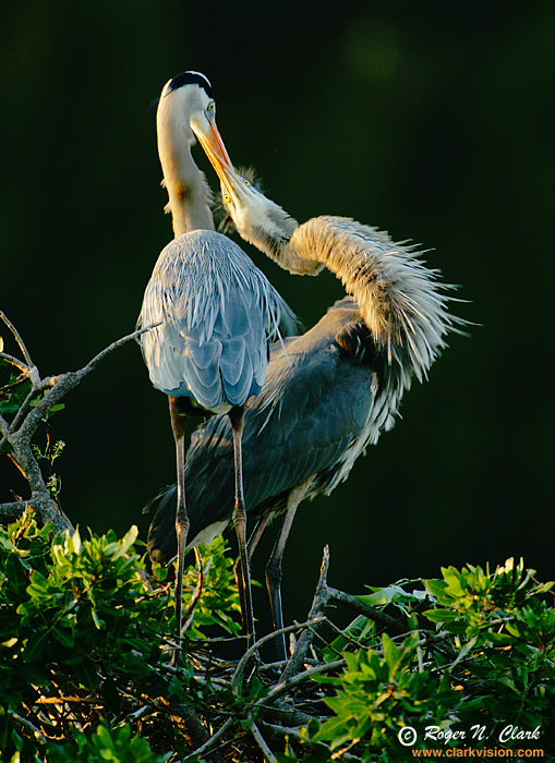 The kiss of blue Herons