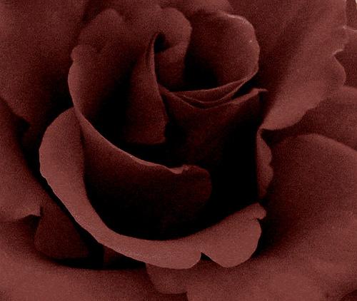 Black roses!