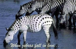 Animal photos - When zebras fall in love