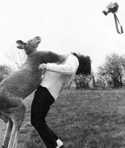 Animal photos - Boxing Kangaroo