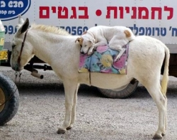 Animal photos - Dog on donkey