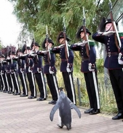 Funny photos - Penguin is on the march