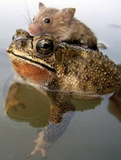 Animal photos - The frog saves the mouse