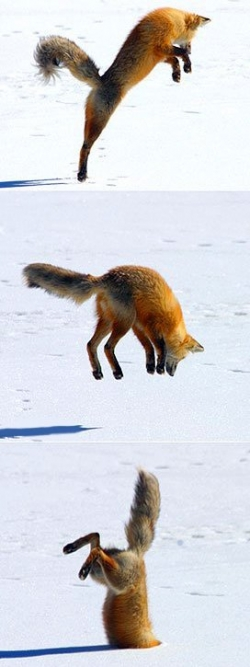 Animal photos - Dive in snow