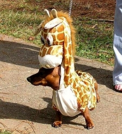 Animal photos - Halloween dog