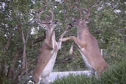 Animal photos - Bucks boxing