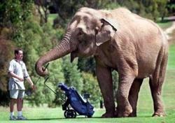Funny photos - Elephant caddy