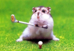 Animal photos - Rat plays golf