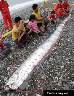 Funny photos - The longest eel