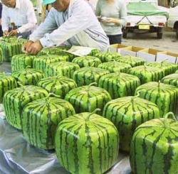 Funny photos - Square water melons