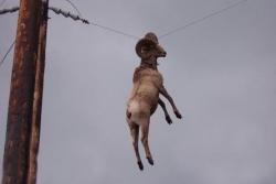 Animal photos - Hanging sheep