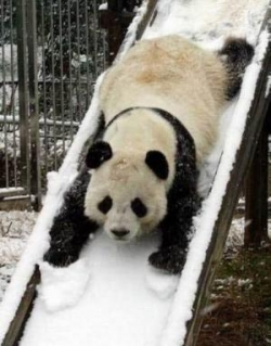Animal photos - Panda ski