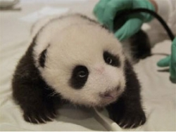 Animal photos - Baby Panda