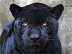 Animal photos - Black is beautiful