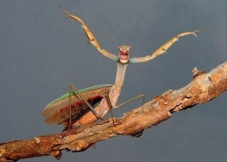 Animal photos - Mantis knight