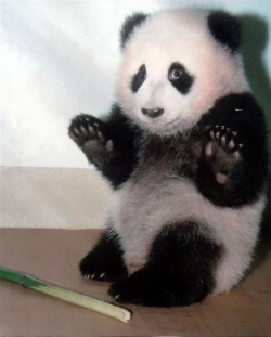 Animal photos - Scary panda