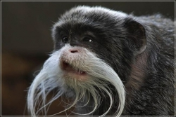 Animal photos - Old monkey
