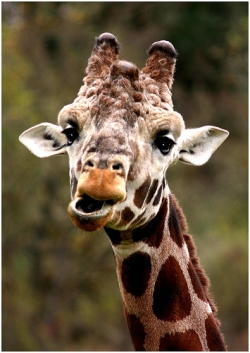 Animal photos - Funny giraffe