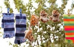 Funny photos - Hamster-clothesline